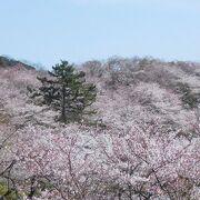 3月の下旬ですが、桜は満開でした。