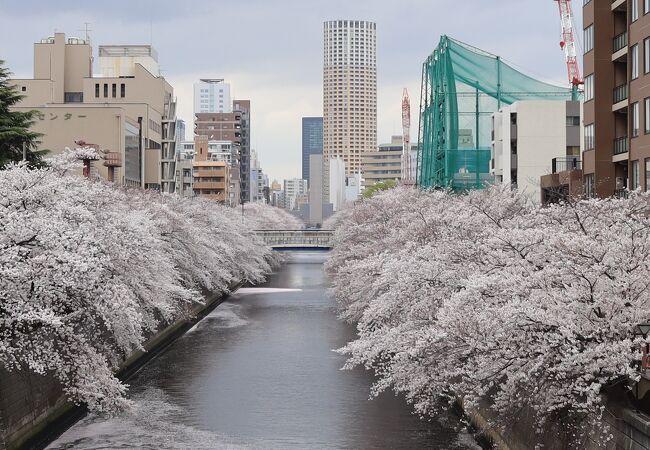 目黒川の満開の桜がご覧頂けます