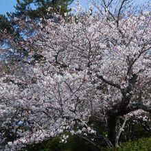 表側の入り口の桜
