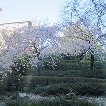 座った席から眺められる桜の木