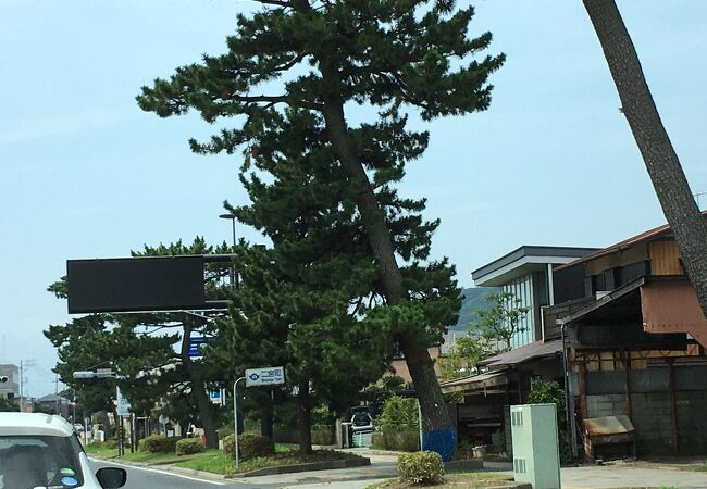 旧東海道松並木