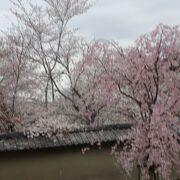 丹羽の桜が美しいです