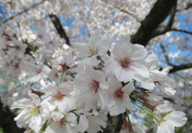 桜並木2021 淀の背割り提 京都さんぽ2021