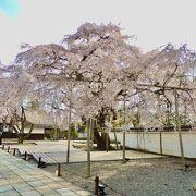 秀吉が愛した桜