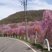 裏磐梯で5月に桜を愛でる