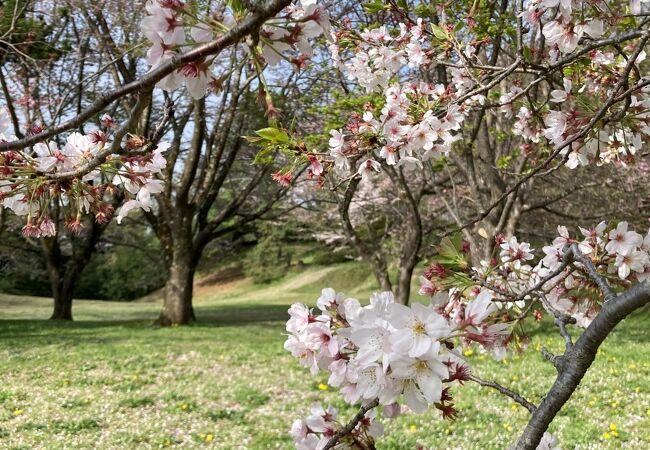 今年は桜は3月中で散り始めてた