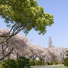 エントランスの満開の桜