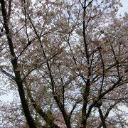 桜のタイミングは難しい