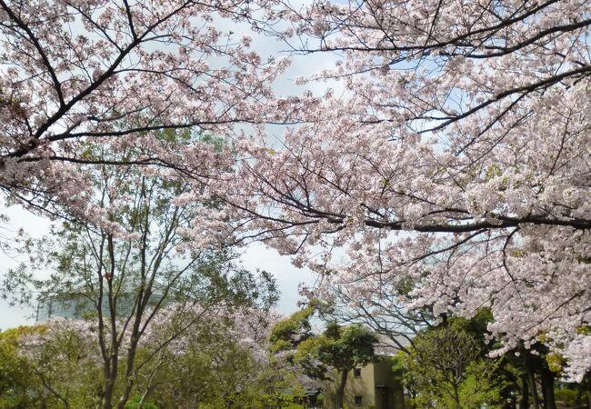 近くの公園では桜も満開