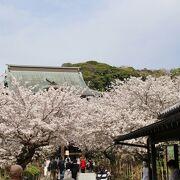 桜のトンネルが見事