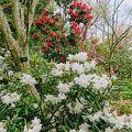 春はシャクナゲと桜
