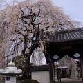 優雅に枝を広げる糸桜