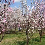 満開の桜と桃の花