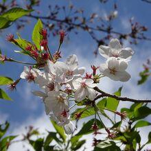 桜もまだ残っているところもあります。