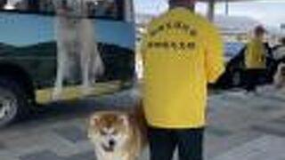 忠犬ハチ公の日、リアル秋田犬のお出迎え