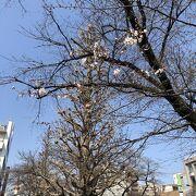 守られる桜並木!