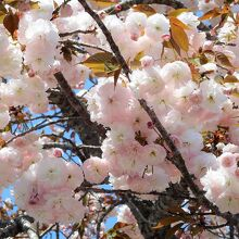 サトザクラの花