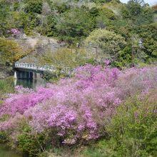 江汐大橋の麓のミツバツツジ