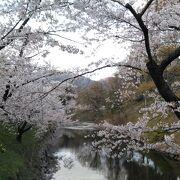 桜はかなり散っていました。