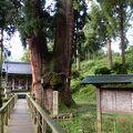 樹齢2300年の天覧の大杉