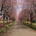福島市でもしだれ桜を楽しめます