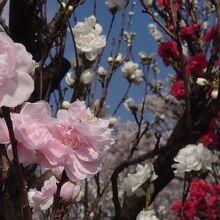 3色の桃の花