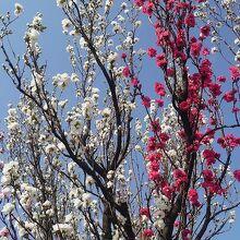 同じ木に2色の花