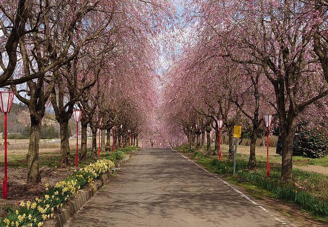 右輪台山のしだれ桜