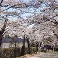 線路沿いの桜のトンネル
