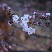 桜もうすぐ満開 3/14