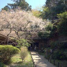 回廊の中心の桜