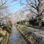 桜満開の哲学の道の散策