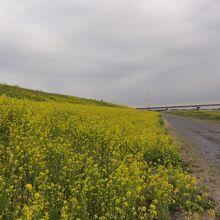さくら堤と利根川散策コース (いばらきヘルスロード115)