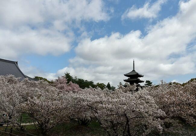 御室桜(仁和寺)