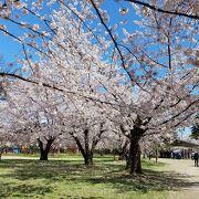 2021年4月21日桜は満開