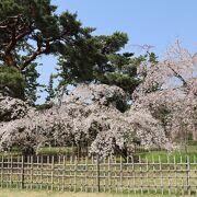 「近衛邸跡の枝垂れ桜」が満開