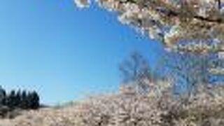 2021年4月23日桜が落ち始めてます。