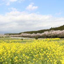 富士山すそのパノラマロード菜の花&桜まつり
