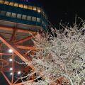 テレビ塔付近桜が満開 4月25日現在