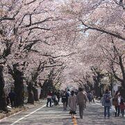 夜の森桜並木は立ち入りができるようになりました。