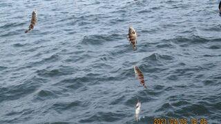 桟橋の4月 小さいメバルが入れ食い