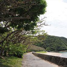 諸鈍長浜のデイゴ並木