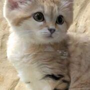 可愛いスナネコの仔猫! のびのびした動物たち