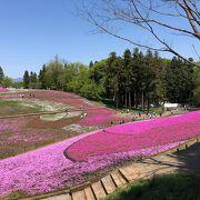 芝桜、最高!!