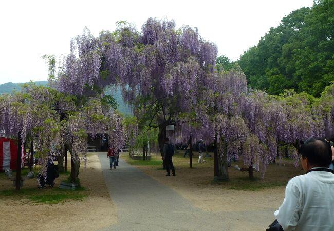 和気町藤公園