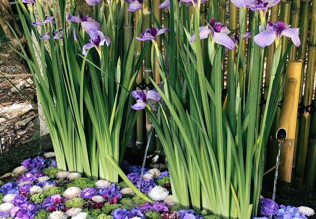 5月、花手水は菖蒲と参道は青葉もみじでまぶしいです