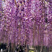 池田 熊野の長藤まつり