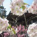 ソメイヨシノ満開の頃、血脈桜(品種:南殿(ナデン))も見頃に