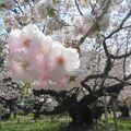 松前の桜の名木、血脈桜は4月下旬中頃が見頃