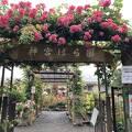 神宮会館の薔薇園、満開!